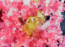 Lagerstroemia (crape myrtle) 3. A macro of a crape myrtle flower Royalty Free Stock Photography