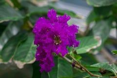 Lagerstroemia floribunda beautiful flowering in summer. It is medium to large trees stock images