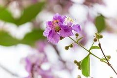Lagerstroemia floribunda Blume, alias thailändische Kreppmyrte Stockbild