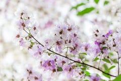 Lagerstroemia floribunda Blume, alias thailändische Kreppmyrte Lizenzfreie Stockfotos