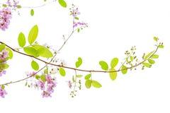 Lagerstroemia floribunda Blume, alias thailändische Kreppmyrte Lizenzfreie Stockfotografie