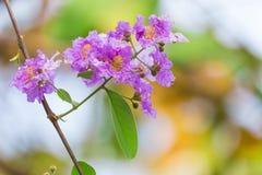 Lagerstroemia floribunda Blume, alias thailändische Kreppmyrte Stockfoto