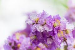 Lagerstroemia floribunda Blume, alias thailändische Kreppmyrte Lizenzfreies Stockfoto