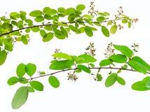 Lagerstroemia floribunda Blume, alias thailändische Kreppmyrte Lizenzfreie Stockbilder