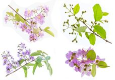 Lagerstroemia floribunda Blume, alias thailändische Kreppmyrte Lizenzfreies Stockbild