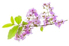 Lagerstroemia floribunda Blume, alias thailändische Kreppmyrte Stockfotografie