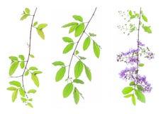 Lagerstroemia floribunda Blume, alias thailändische Kreppmyrte Stockfotos