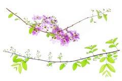 Lagerstroemia floribunda Blume, alias thailändische Kreppmyrte Stockbilder