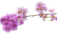 Lagerstroemia floribunda flower. Also known as Thai crape myrtle and kedah bungor, is a species of flowering plant in the Lythraceae family. It is native of royalty free stock photography