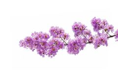 Lagerstroemia floribunda flower. Also known as Thai crape myrtle and kedah bungor, is a species of flowering plant in the Lythraceae family. It is native of royalty free stock photo