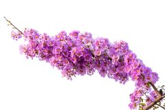 Lagerstroemia floribunda flower. Also known as Thai crape myrtle and kedah bungor, is a species of flowering plant in the Lythraceae family. It is native of royalty free stock image