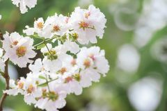 Lagerstroemia floribunda flower, also known as Thai crape myrtle. And kedah bungor, is a species of flowering plant in the Lythraceae family. It is native of stock photo