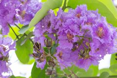 Lagerstroemia floribunda flower, also known as Thai crape myrtle. And kedah bungor, is a species of flowering plant in the Lythraceae family. It is native of stock photography
