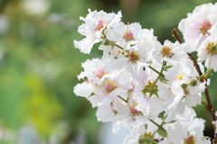 Lagerstroemia floribunda flower, also known as Thai crape myrtle. And kedah bungor, is a species of flowering plant in the Lythraceae family. It is native of stock images