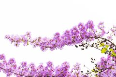 Lagerstroemia floribunda flower, also known as Thai crape myrtle. And kedah bungor, is a species of flowering plant in the Lythraceae family. It is native of royalty free stock photos