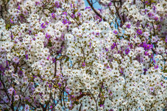 Lagerstroemia floribunda flower background,summer flower. The Lagerstroemia floribunda flower background,summer flower Royalty Free Stock Images