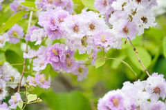 Lagerstroemia floribunda. Flower close up Stock Photo