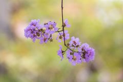 Lagerstroemia floribunda flower. Also known as Thai crape myrtle and kedah bungor, is a species of flowering plant in the Lythraceae family. It is native of royalty free stock images