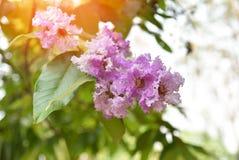 Lagerstroemia floribunda Flower. Lagerstroemia loudonii flower or Lagerstroemia floribunda of blooming in the tropics garden summer stock photography