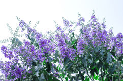 Lagerstroemia floribunda flower Stock Image