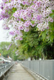 Lagerstroemia floribunda flower. Purple road Stock Image