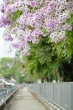 Lagerstroemia floribunda flower. Purple road Stock Image