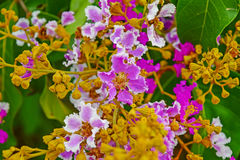 Lagerstroemia floribunda Royalty Free Stock Images