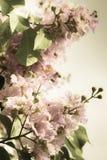 Lagerstroemia floribunda Jack flower Royalty Free Stock Image