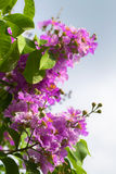 Lagerstroemia floribunda Jack flower Royalty Free Stock Photography