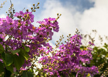 Lagerstroemia floribunda Jack flower Royalty Free Stock Photos