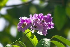 Lagerstroemia floribunda Jack in nature. In a beautiful bouquet of beautiful purple flowers royalty free stock photography