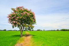 Lagerstroemia floribunda lub Tajlandzki crape mirt zdjęcia stock