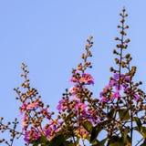 Lagerstroemia floribunda, Purpurowi kwiaty - Akcyjny wizerunek Zdjęcie Stock