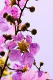 Lagerstroemia floribunda, Purpurowi kwiaty - Akcyjny wizerunek Fotografia Royalty Free