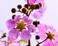 Lagerstroemia floribunda, Purpurowi kwiaty - Akcyjny wizerunek Obrazy Royalty Free