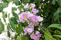 Lagerstroemia floribunda or Thai crape myrtle, tree with purple. Flowers. Much found in Southeast asia stock image