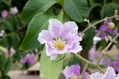 Lagerstroemia floribunda or Thai crape myrtle, tree with purple. Flowers. Much found in Southeast asia royalty free stock photos