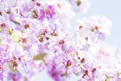 Lagerstroemia flower Royalty Free Stock Photo