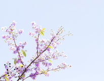 Lagerstroemia flower Royalty Free Stock Image