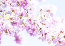 Lagerstroemia flower Royalty Free Stock Photography