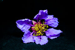 Lagerstroemia flower royalty free stock images