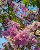Lagerstroemia flowers, Lagerstroemia speciosa stock photography