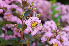 lagerstroemia indica Foto de Stock Royalty Free