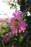 Lagerstroemia indica. Crape myrtle, alias: itch itch tree, flower, orchid, purple, purple gold flower mosquito flowers, red bayberry, Atlantic water hundred days Stock Photos