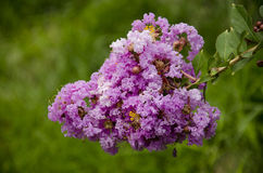 Lagerstroemia indica. Crape myrtle, purple gold flower, flower hundred days of red, dry, view, view root bonsai wood Royalty Free Stock Photos