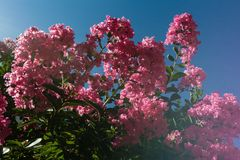 Lagerstroemia indica or Crepe-myrtle. Against the background of blue sky royalty free stock image