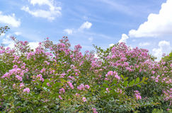 Lagerstroemia indica flowers bloom in the garden. With romantic pink for those who love flowers and pink, this flower usually blooms in summer in the tropics Royalty Free Stock Image