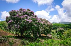 Lagerstroemia indica flowers blooming in spring. Lagerstroemia indica flowers blooming at botanic garden in spring time Royalty Free Stock Photo