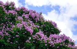 Lagerstroemia indica flowers blooming in spring. Lagerstroemia indica flowers blooming at the park in spring Royalty Free Stock Photo