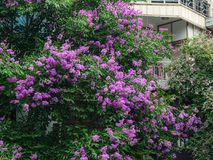 Lagerstroemia indica flowers at the park. Lagerstroemia indica flowers blooming at the park in Ha Long, Vietnam Royalty Free Stock Image